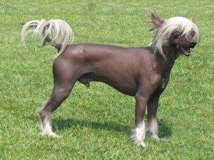cane senza pelo