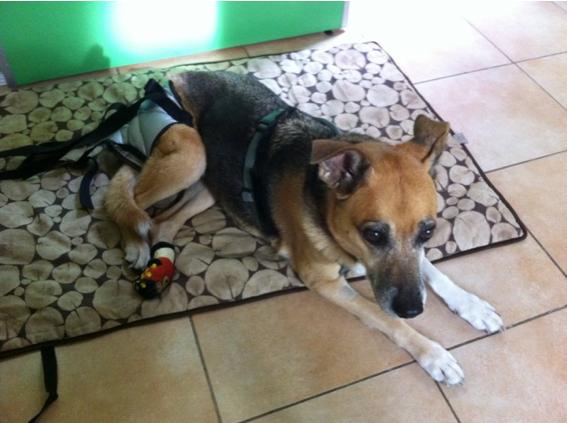 La vita con un cane disabile: spunti pratici