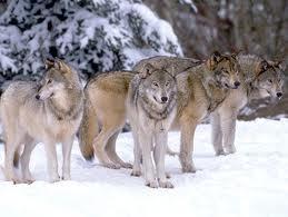 Viaggio nel tempo: dal lupo al cane domestico