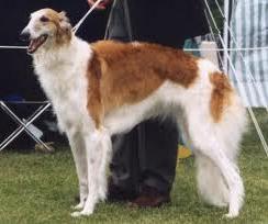 I levrieri primitivi (primitive hounds) e i levrieri orientali (sight hounds)